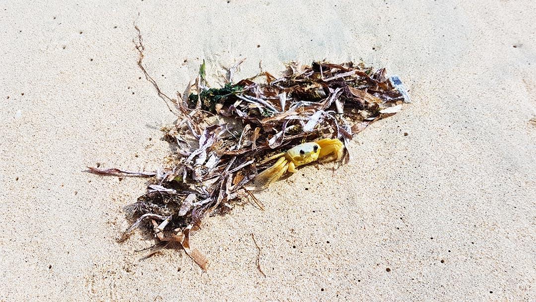 Gelbe Krabbe im Sand