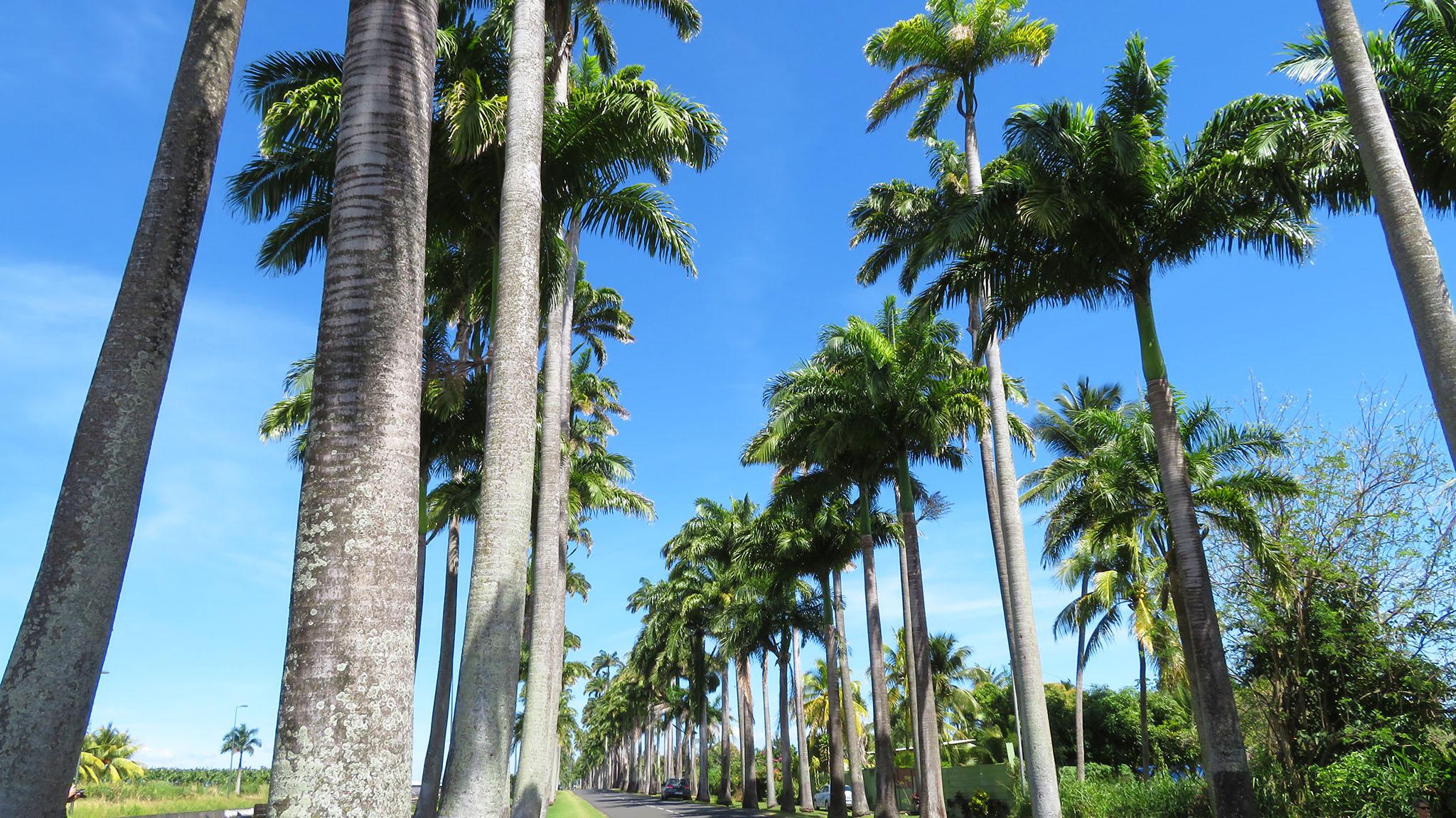 Palmenallee Guadeloupe Ausflug Karibik Kreuzfahrt