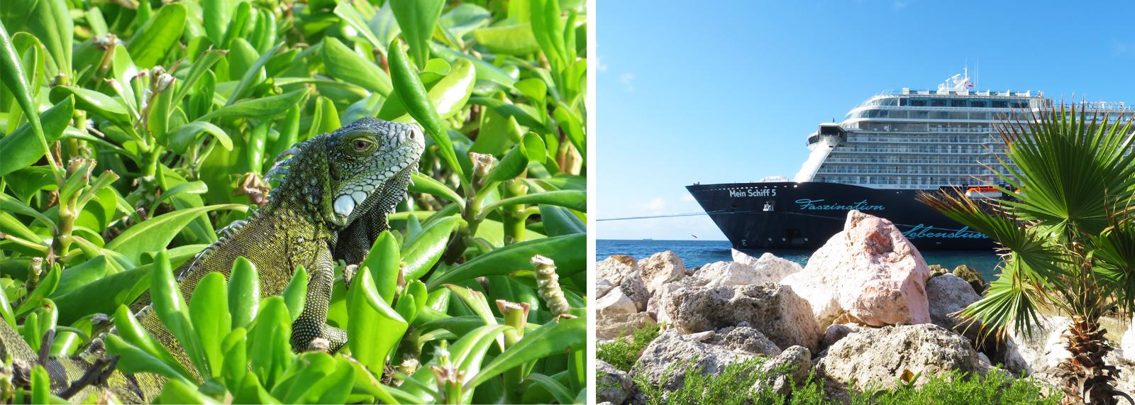 Curacao Leguan