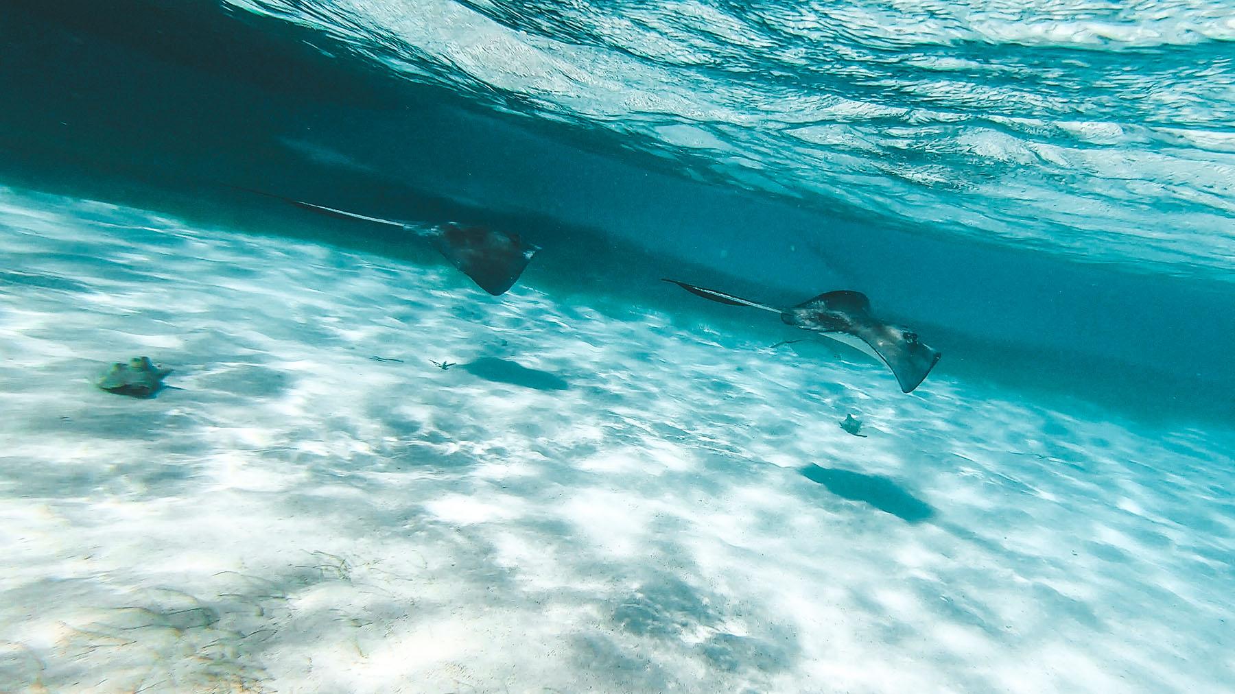 Belize Ausflug Barrier Reef Schnorcheln Rochen
